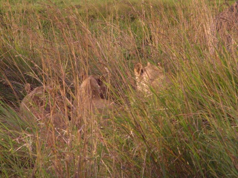 Lions group 3 before darting