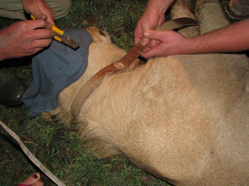 Lion capture tagging red 1