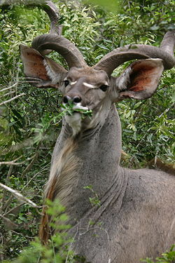 250px-Male_Kudu_Eating