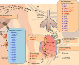 Plasmodium_life_cycle_kinome600x350_0